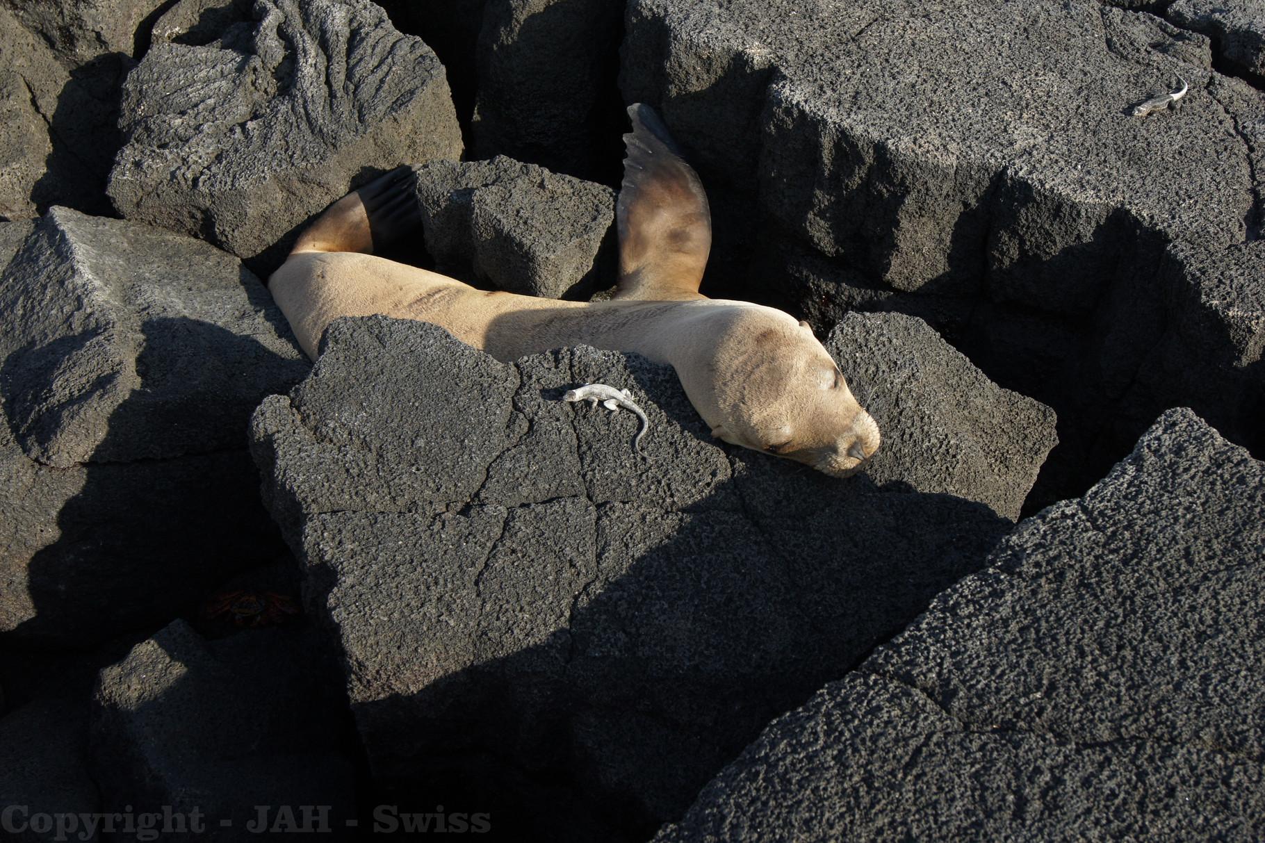 Galápagos Inseln: Seelöwe und Gekko auf der Insel Fernandina