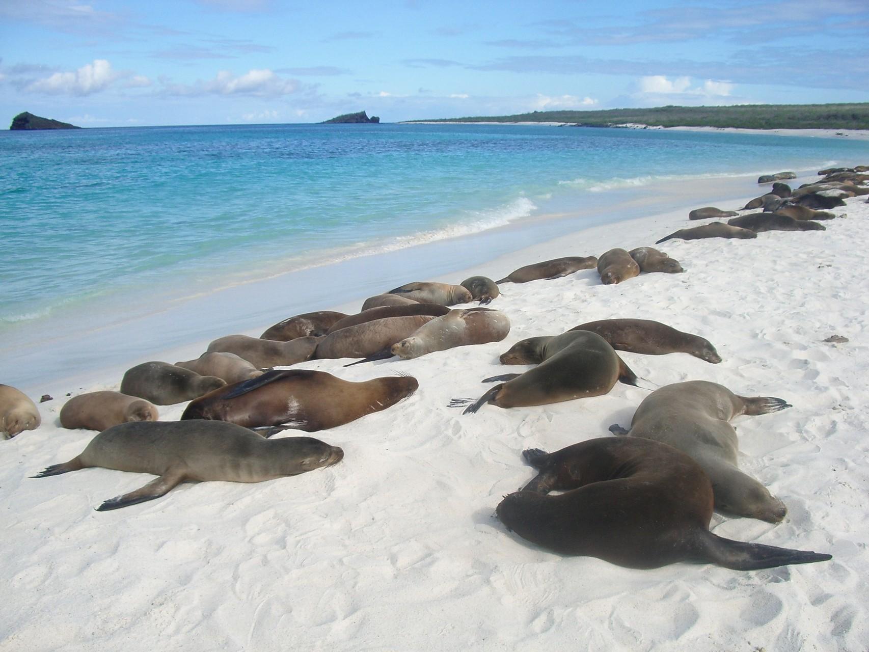 Galápagos Inseln: Seelöwen auf der Insel Española