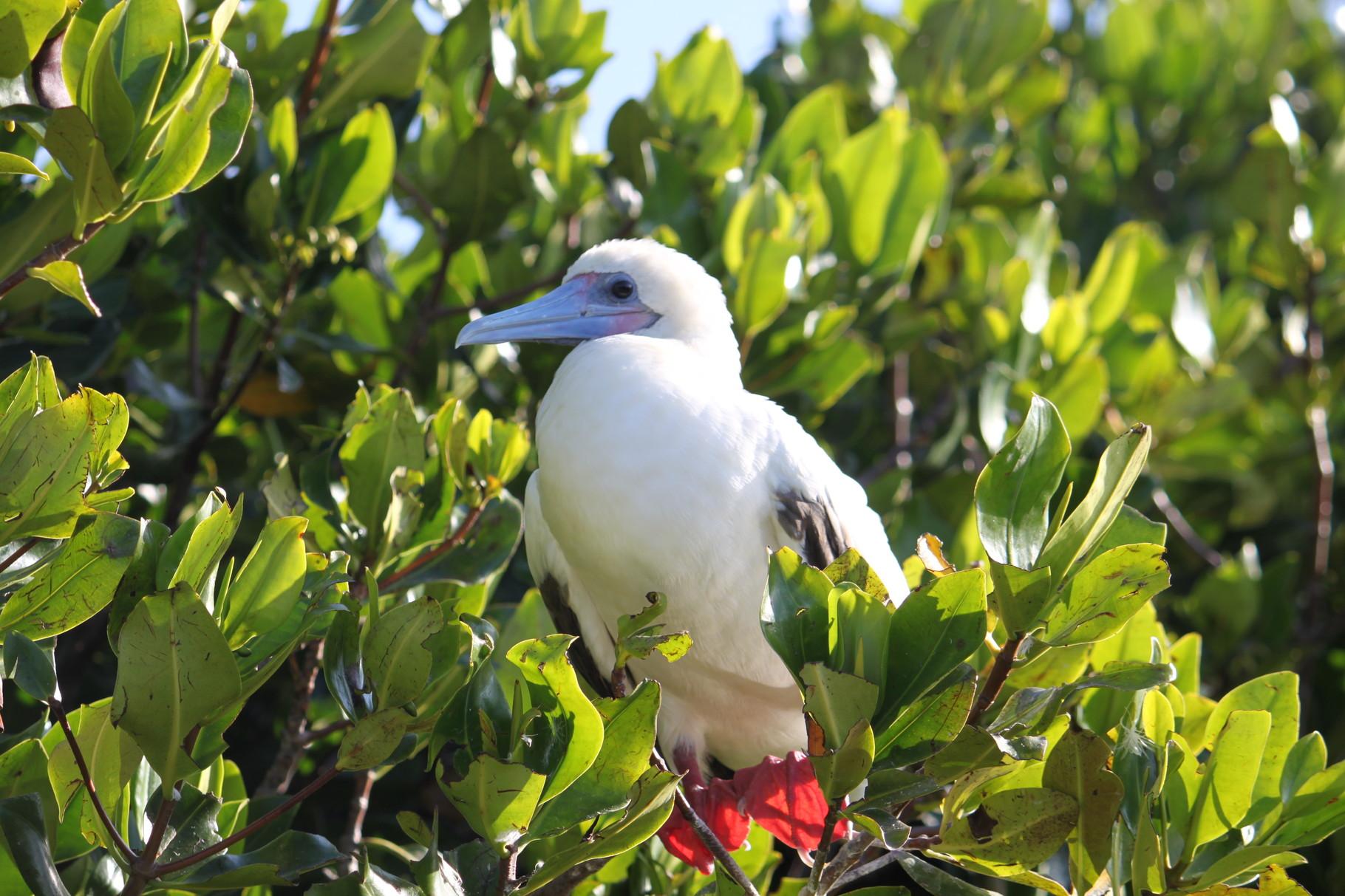 Galápagos Inseln: Junger Rotfusstölpel auf der Insel Genovesa
