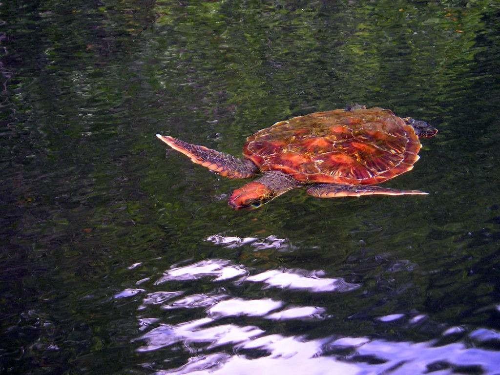 Galápagos Inseln: Meeresschildkröte vor der Insel Santa Cruz