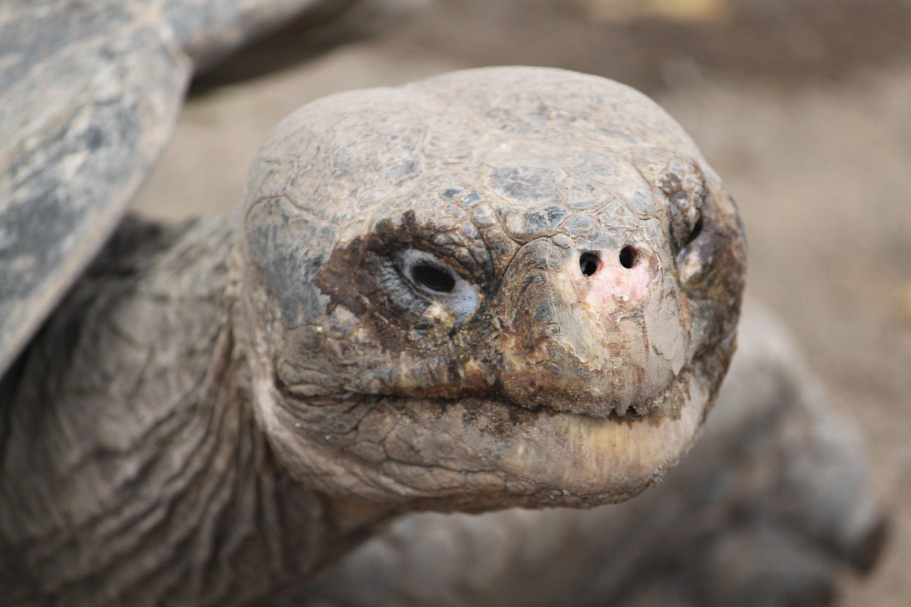 Galápagos Inseln: Landschildkröte im Hochland von Santa Cruz
