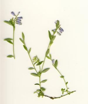 Quendelblättriges Kreuzblümchen - Polygala serpyllifolia;  in den Roten Listen von Deutschland und Baden-Württemberg als gefährdet gkennzeichnet (G. Franke, bei Waldbronn-Etzenrot)