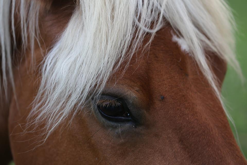 cheval de trait comtois