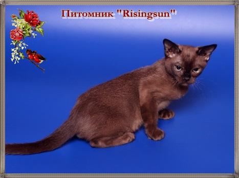 Вязка бурманской кошки