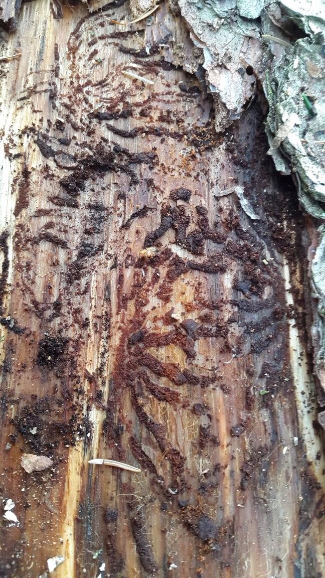 Deutlich zu erkennende Muttergänge der weiblichen Käfer, die diese zur Eiablage nutzen.