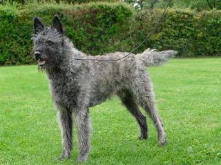 Hollandischer Schaferhund Vandeniwos Webseite