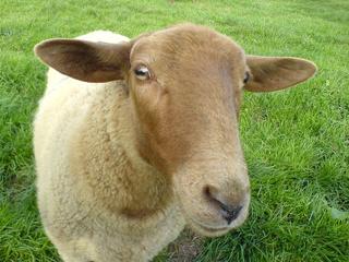 koreus.com/video/mouton - le cri | attributions image wikipedia / Sheep_Shaf_Mouton 2006 Pierre-Alexandre Dutot