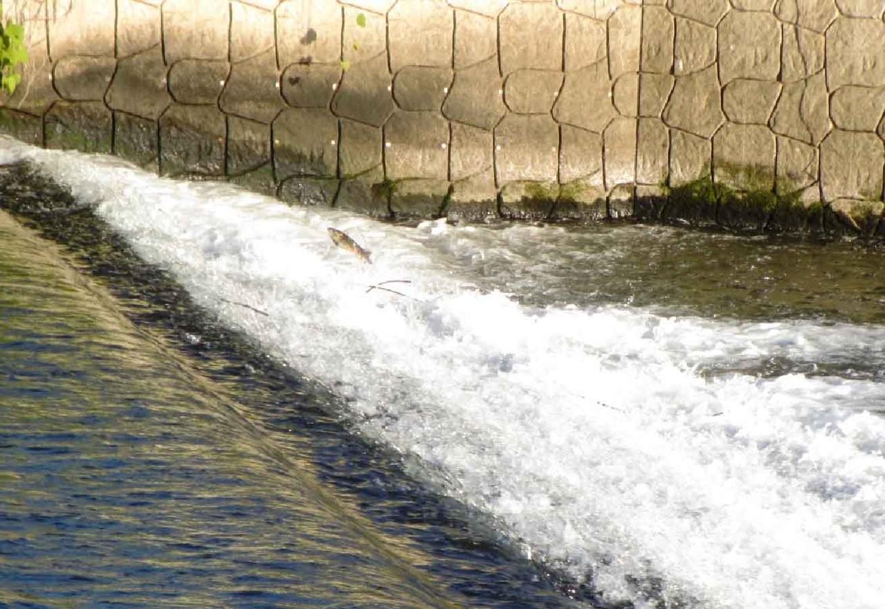 勤行緑地における堰での鮭の滝昇り