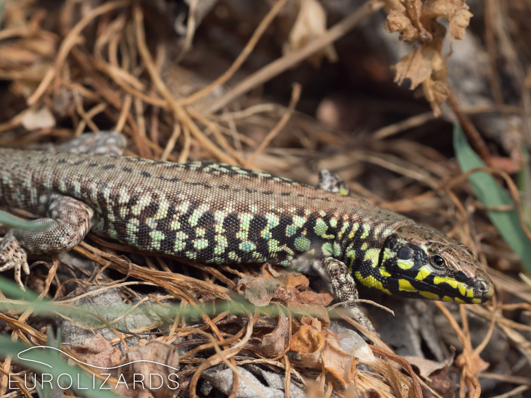 Male: GR / Milos, 17.04.2018 - Some males show yellow colours.