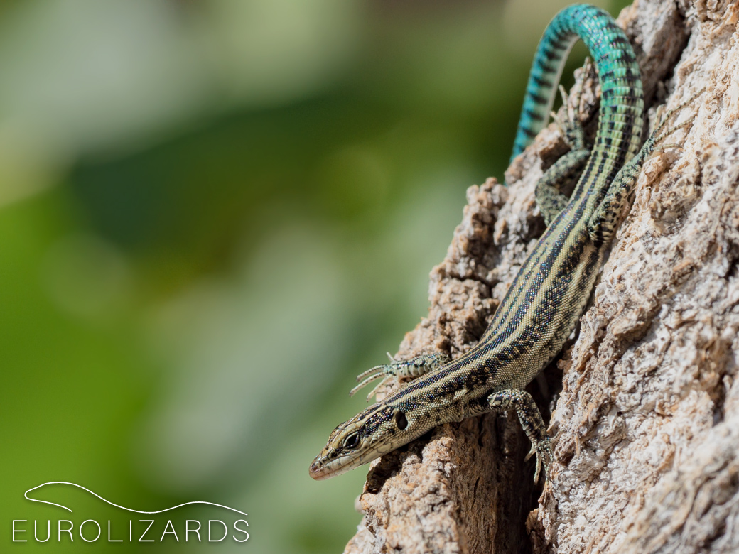 Podarcis hispanicus