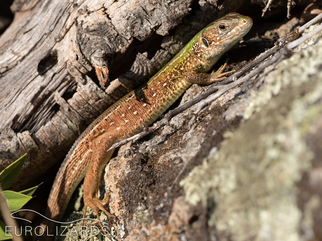Subsp. viridis, female: BG / Primorsko, 19.09.2021 - Lizards from Black Sea Coast frequently have brown flanks, tails and legs. Therefore they have been formerly referred to subsp. meridionalis - but actually are a colour morph of the nominate subsp.
