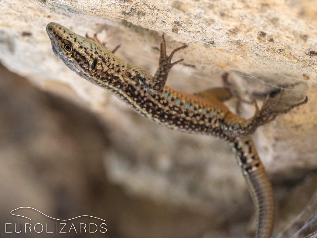 Podarcis liolepis