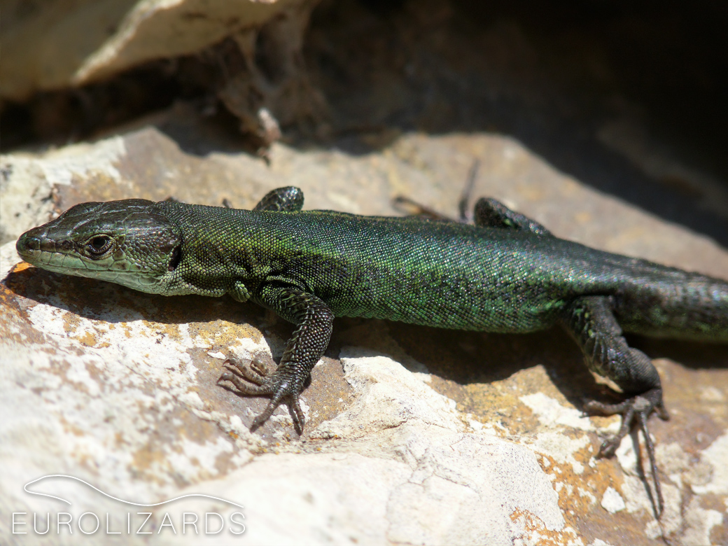 """Green morph"", male: E / Alicante, 22.02.2009 - A very dark specimen"