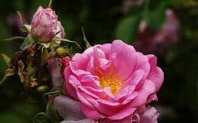 Refan, myRefan ,Black Star Care - Damascena Rose