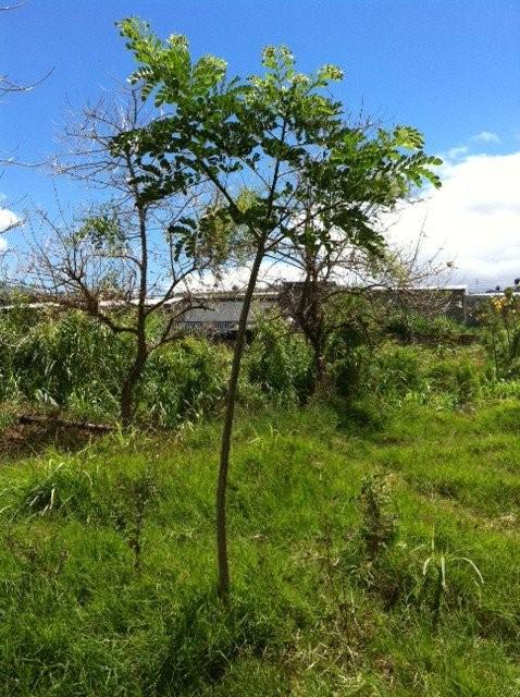 Reforestación del margen oeste del Río Damas, Desamparados (2012)