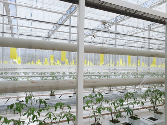 自動制御化されたハウス栽培によるトマト/Những cây cà chua canh tác trong nhà bằng hệ thống kiểm soát tự động .