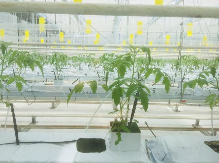 この研究棟で4,800株のトマトが栽培されています。1.5m位の高さに吊っている沢山の黄色いものは害虫とり紙です。9月になると、たくさんの蜂をハウス内に入れて自然受粉させて、トマトの花が咲き、やがて10月に実がなります。/温室中栽培了4800株西红柿幼苗。在1.5米高处悬挂着的黄色物体是去除害虫纸剂。到了9月,会将大量蜜蜂放入温室以完成自然授粉,在授粉结束后,西红柿苗会开花,10月西红柿就结果了。