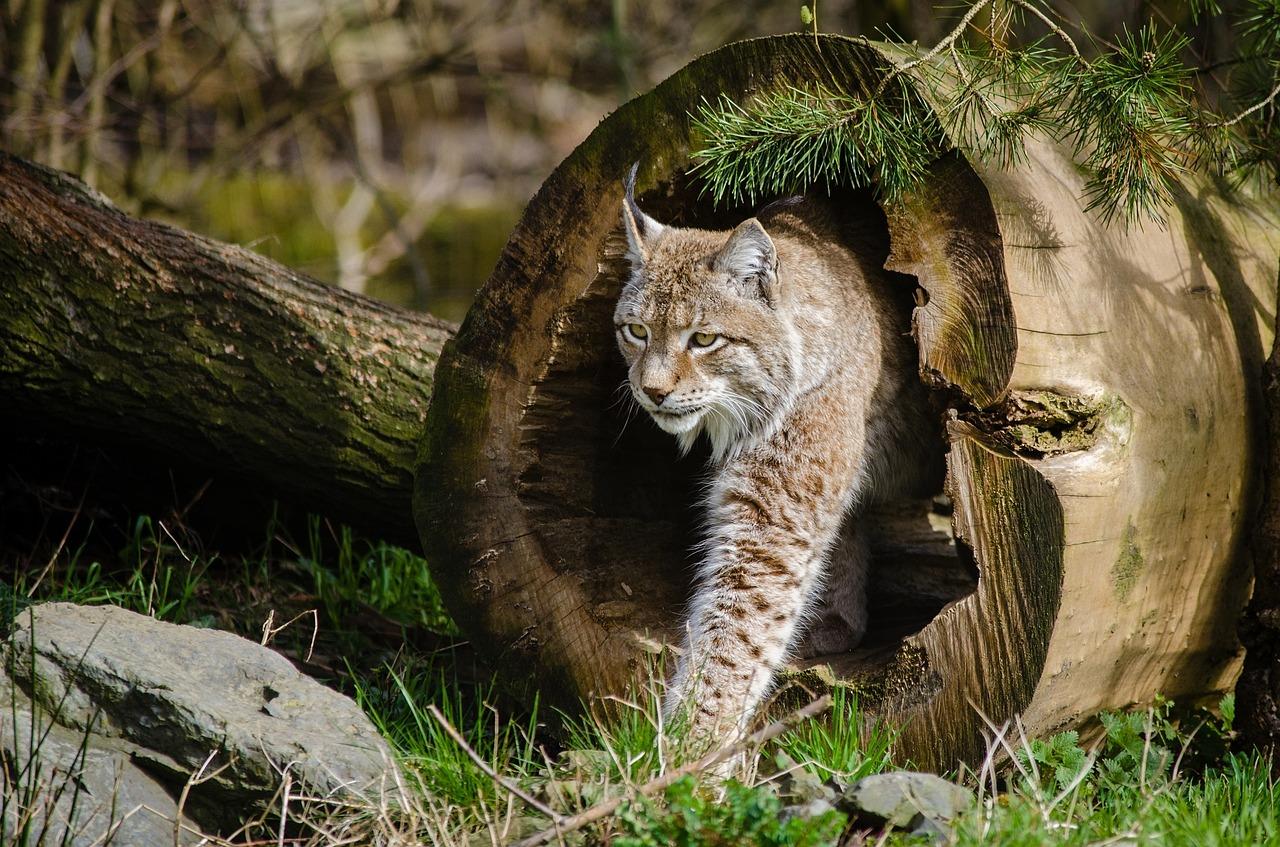 La faune sauvage du massif vosgien le Lynx