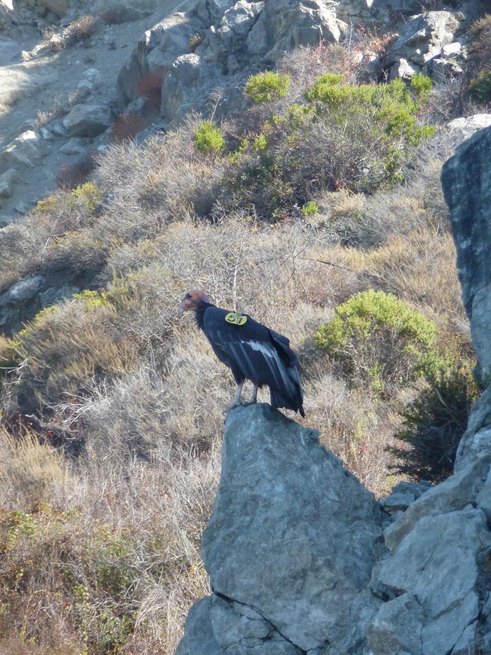 Very rare California Condor...