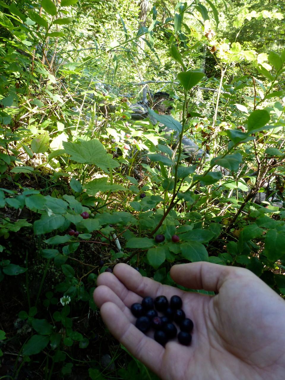 enjoying huckleberrys along the way