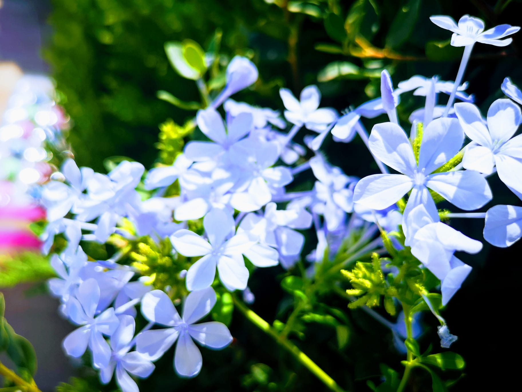 Plumbago, im Sommer blüht er überall - Merci Jonas