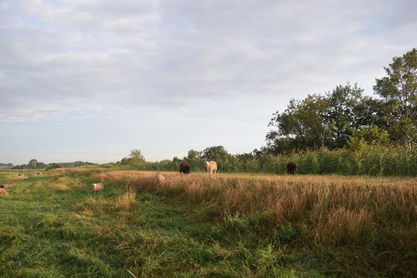Dijk schapen