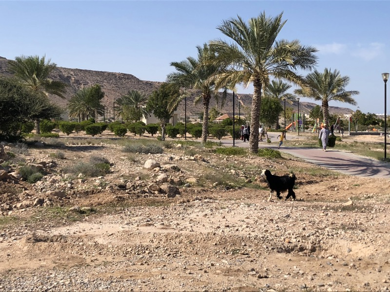 A small oasis in the middle of the rocky deserts of Oman & a goat.