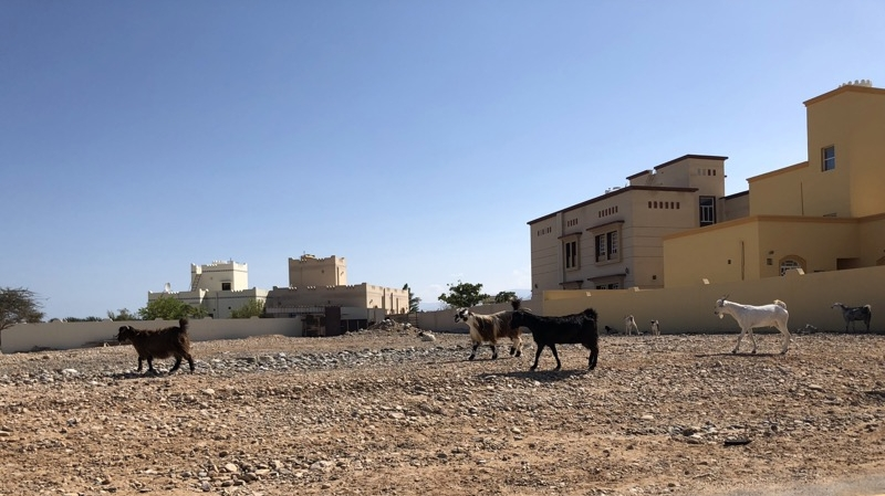 Some more goats when driving by little villages in Oman.