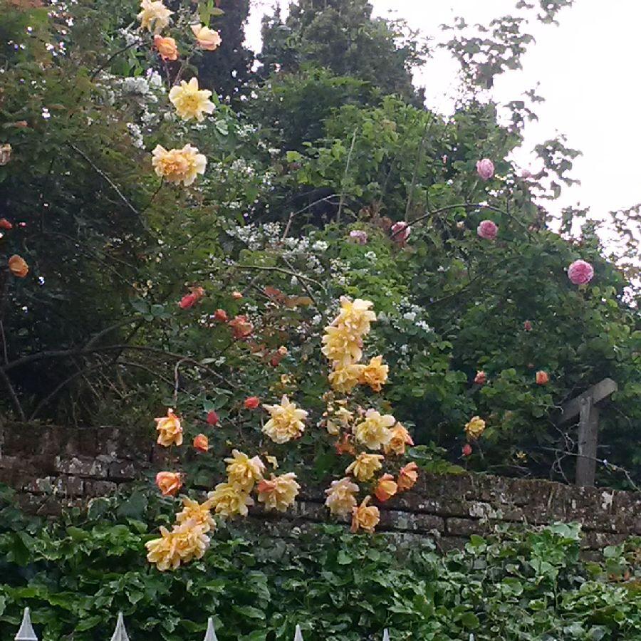 les roses en fleur au jardin