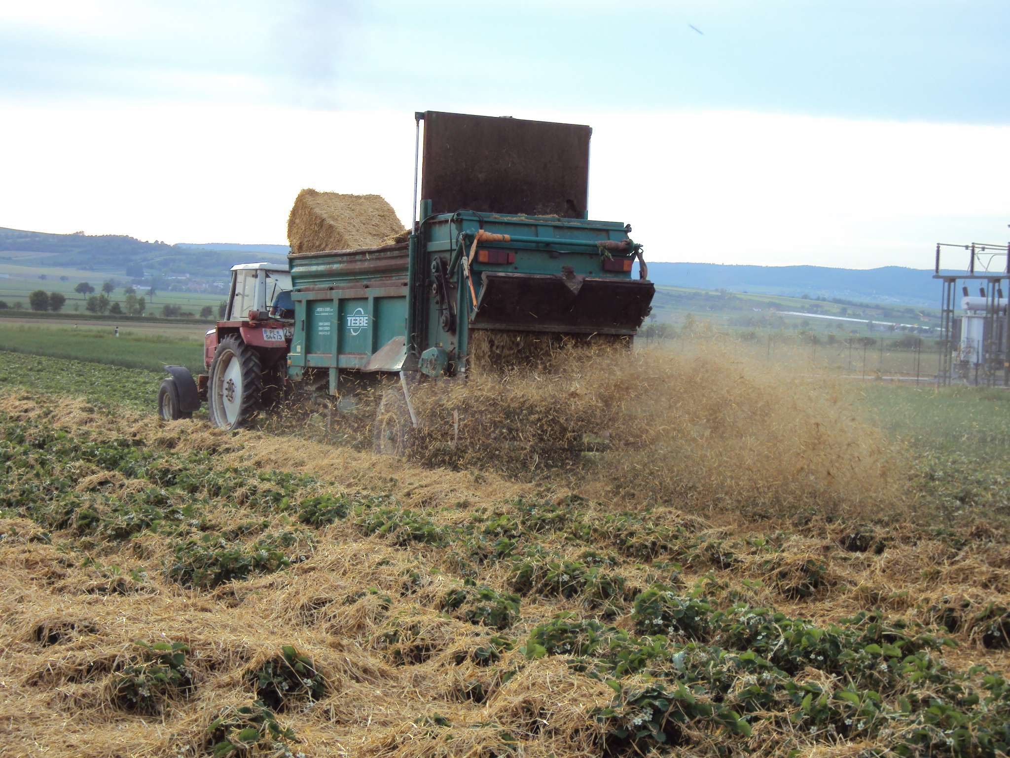 3 Wochen vor Beginn der Ernte wird das Stroh eingestreut