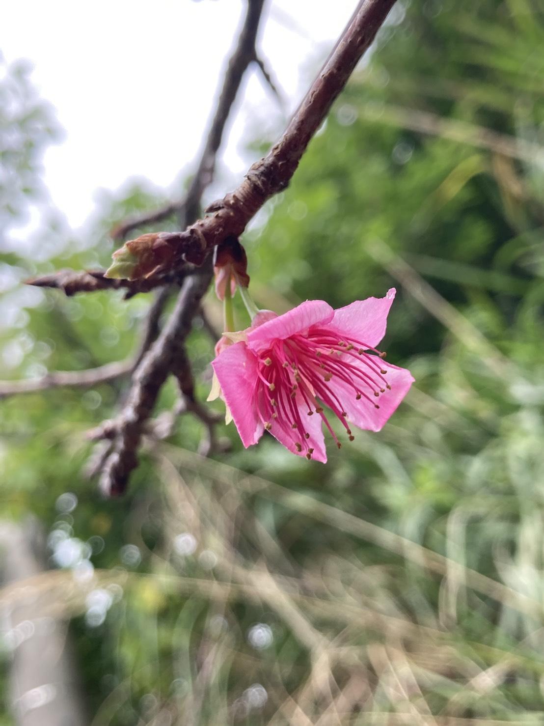 桜、咲きました。