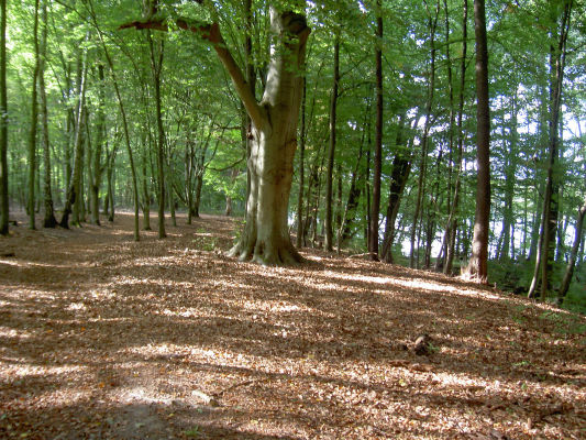 Schöner Buchenwald nah beim Trämmersee (Südseite mit Lehrpfad)