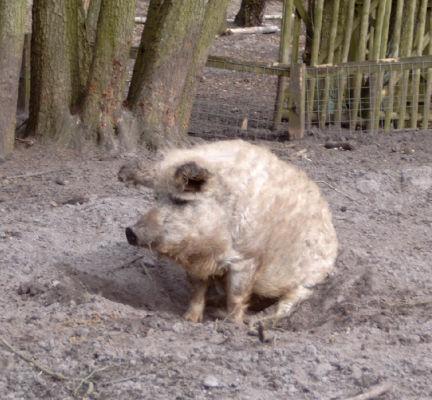 Woll-Schwein. - Eine alte Schweinerasse.