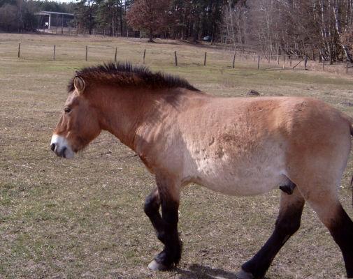 Przewalski-Pferd im Wildpark Schorfheide (bei Groß Schönebeck)