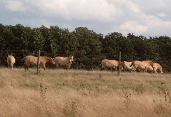 Eine spezielle Rasse von Wildpferden (Rückzüchtung). Die Herde umfasst heute ca. 100 Tiere!