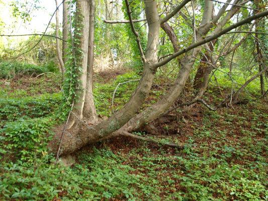 Seltsame Kastanie, die fast auf dem Boden liegt, aber starke Äste nach oben ausgebildet hat. - Ort: Unterhalb von Carinhall. Hat dieser Baum die Sprengungen überlebt und erklärt das den eigenartigen Wuchs?