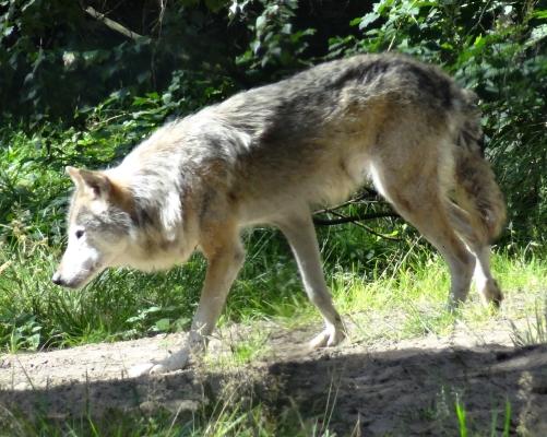 Wolf im großen Gehege des Wildparks. Große Attraktion sind die nächtlichen Führungen bei Vollmond!