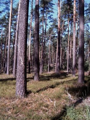 Kiefernwald hat viele Gesichter und tolle Stimmungen. Der Schorfheide-Boden ist meist mit Heidelbeeren bedeckt.