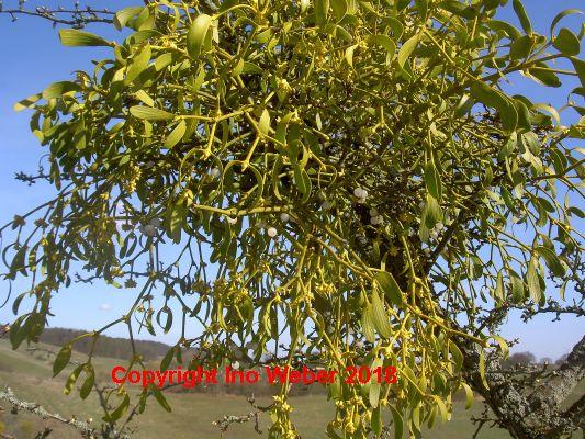 Viele der Obstbäume haben Misteln. Die heilkräftige Schmarotzerpflanze ist sonst nie aus solcher Nähe zu bewundern.