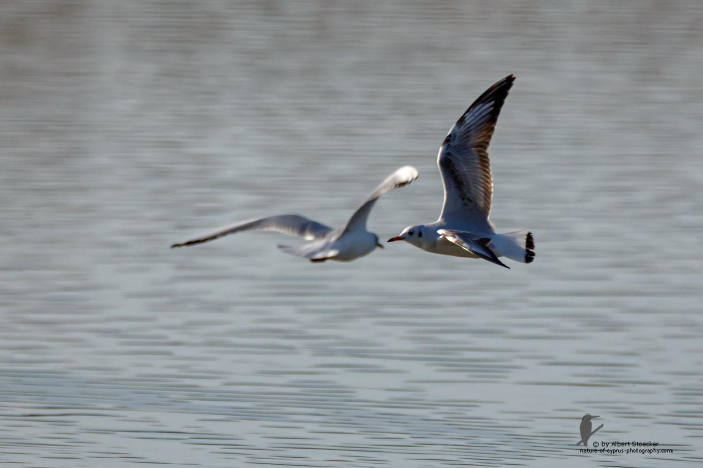 Larus michahellis - Yellow-legged Gull - Mittelmeermöwe, Cyprus, Oroklini Lake, Februar 2016