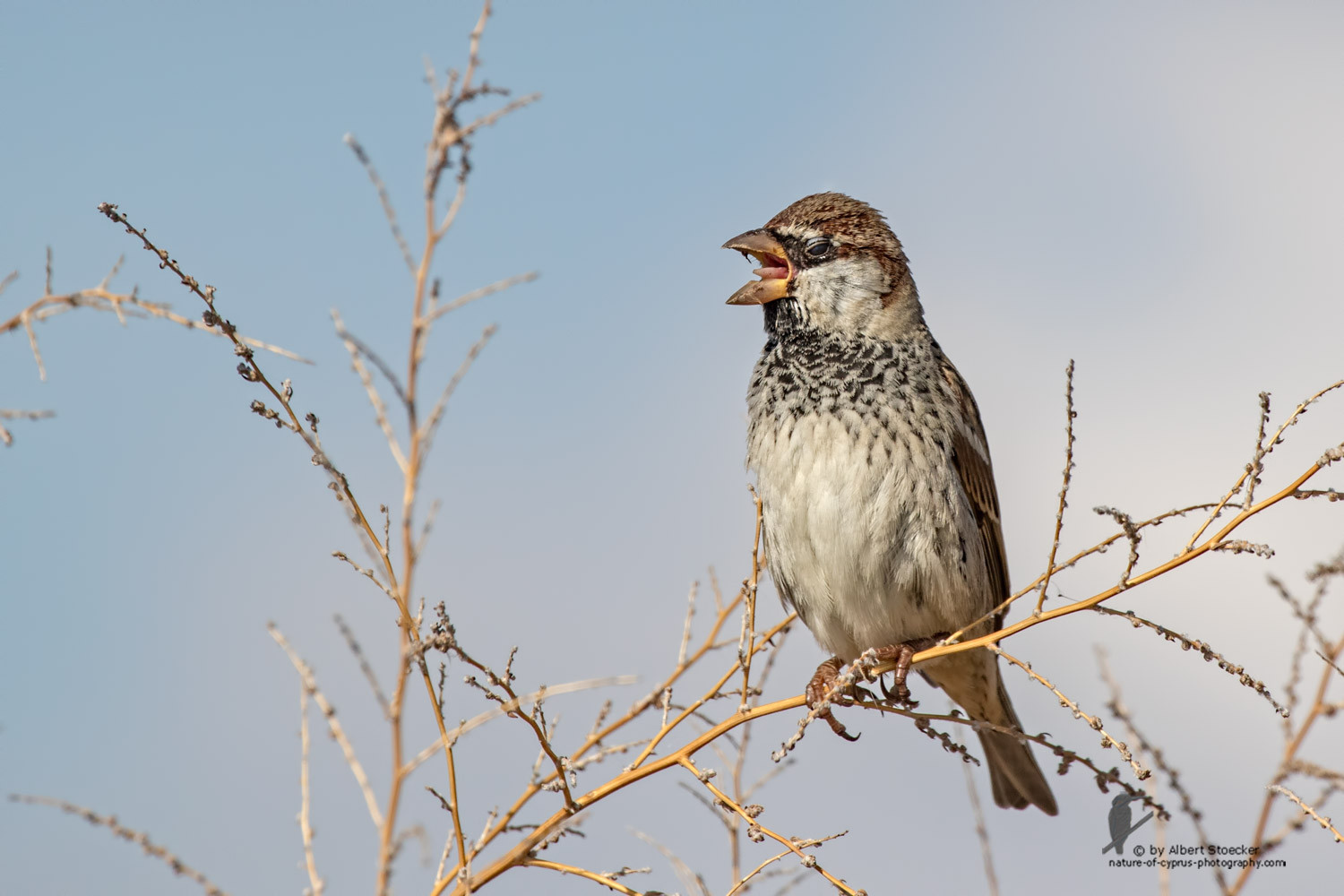 Passer hispaniolensis - Spanish Sparrow - Weidensperling, Cyprus, Akrotiri - Zakaki, January 2016