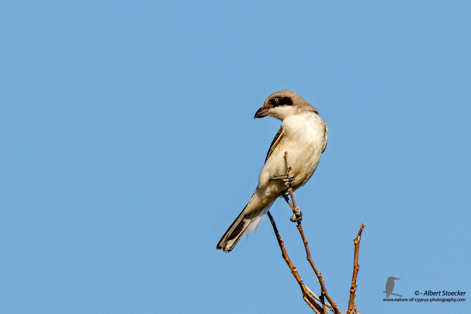 Lanius minor - Lesser Grey Shrike - Scharzstirnwuerger, Cyprus, Mandria Fields, August 2016