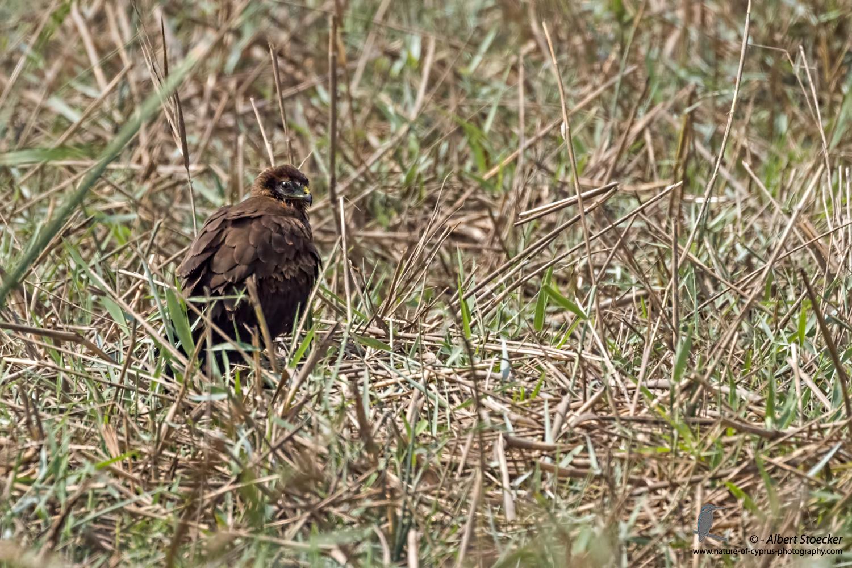 Rohrweihe, Western Marsh Harrier, juvenile, Circus aeroginosus, Cyprus, Akrotiri - Fasouri Hide, September 2017