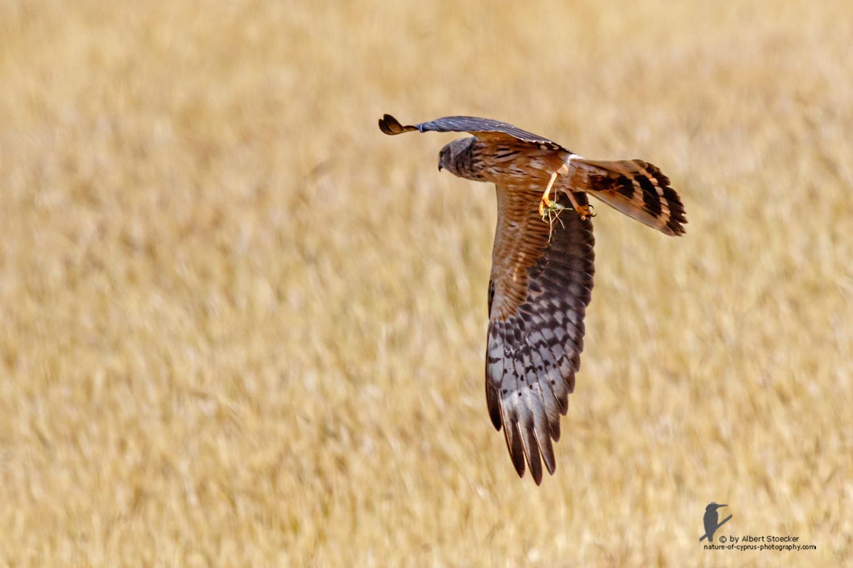 Circus macrourus - Montagu`s Harrier (female) - Wiesenweihe, Cyprus, Anarita - Ayia Varvara, April 2016