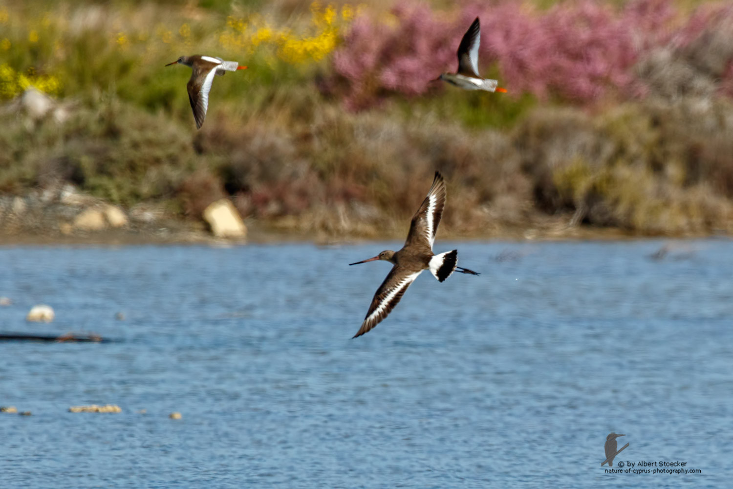 Limosa limosa - Black-tailed Godwit - Uferschnepfe, Cyprus, Zakai Marsh, March 2016