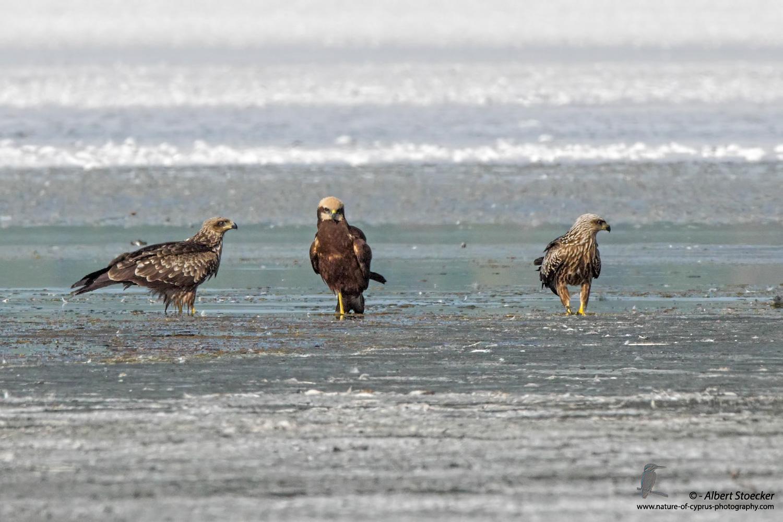 Schwarzmilan, Black Kite, Milvus migrans + Rohrweihe, Western Marsh Harrier, Circus aeroginosus, Cyprus, Akrotiri Salt Lake, September 2017