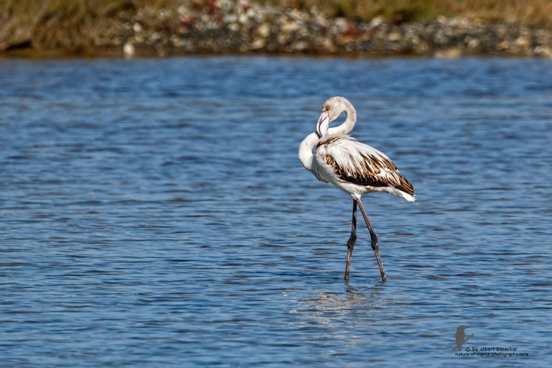Phoenicopterus ruber - Greater Flamingo (juvenile) - Rosaflamingo, Cyprus, Zakai Marsh, March 2016