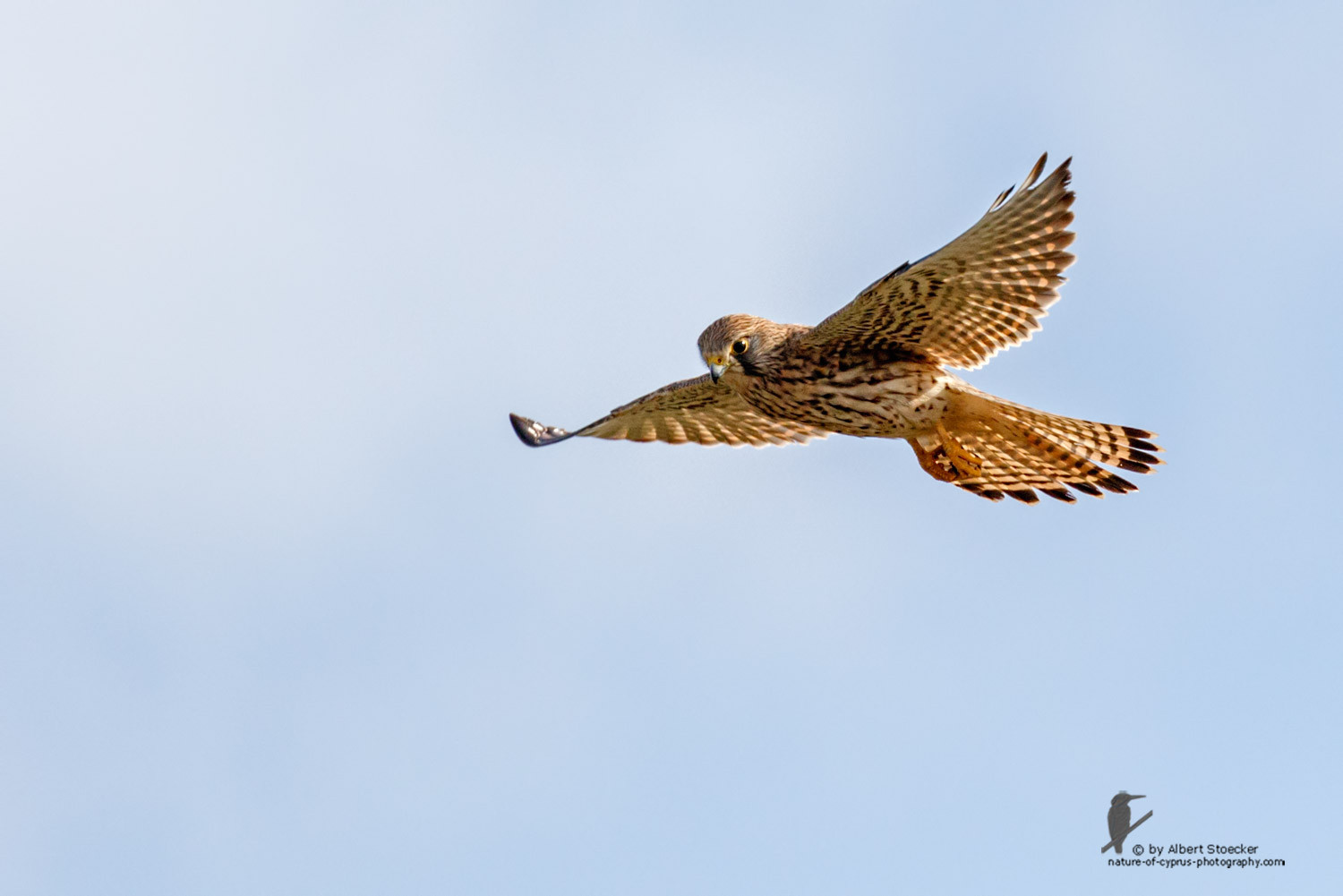 Falco tinnunculus - Common Kestrel - Turmfalke, Cyprus, Mandria Beach, March 2016