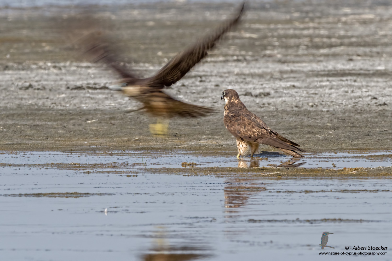Eleonorenfalke, Eleonora´s Falcon, Falco eleonorae, Cyprus, Akrotiri Salt Lake, September 2017