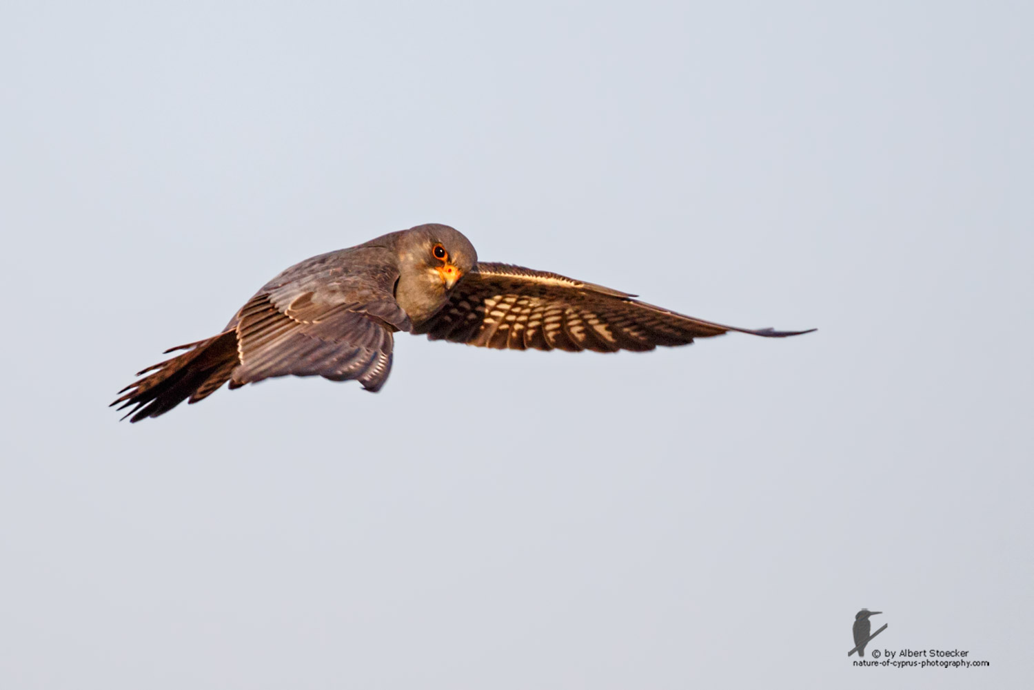 Falco vespertinus - Red-footed Falcon, male, Rotfußfalke, Cyprus, Agia Varvara-Anarita, Mai 2016